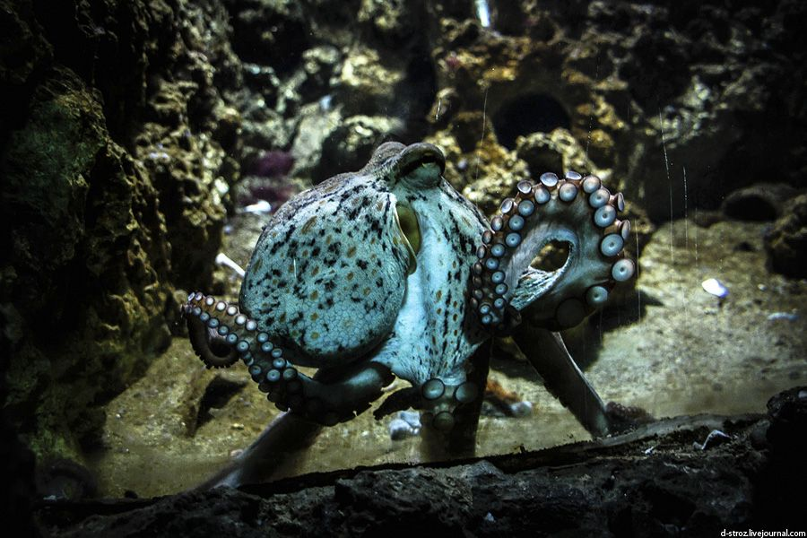 Фото осьминог в океанариуме