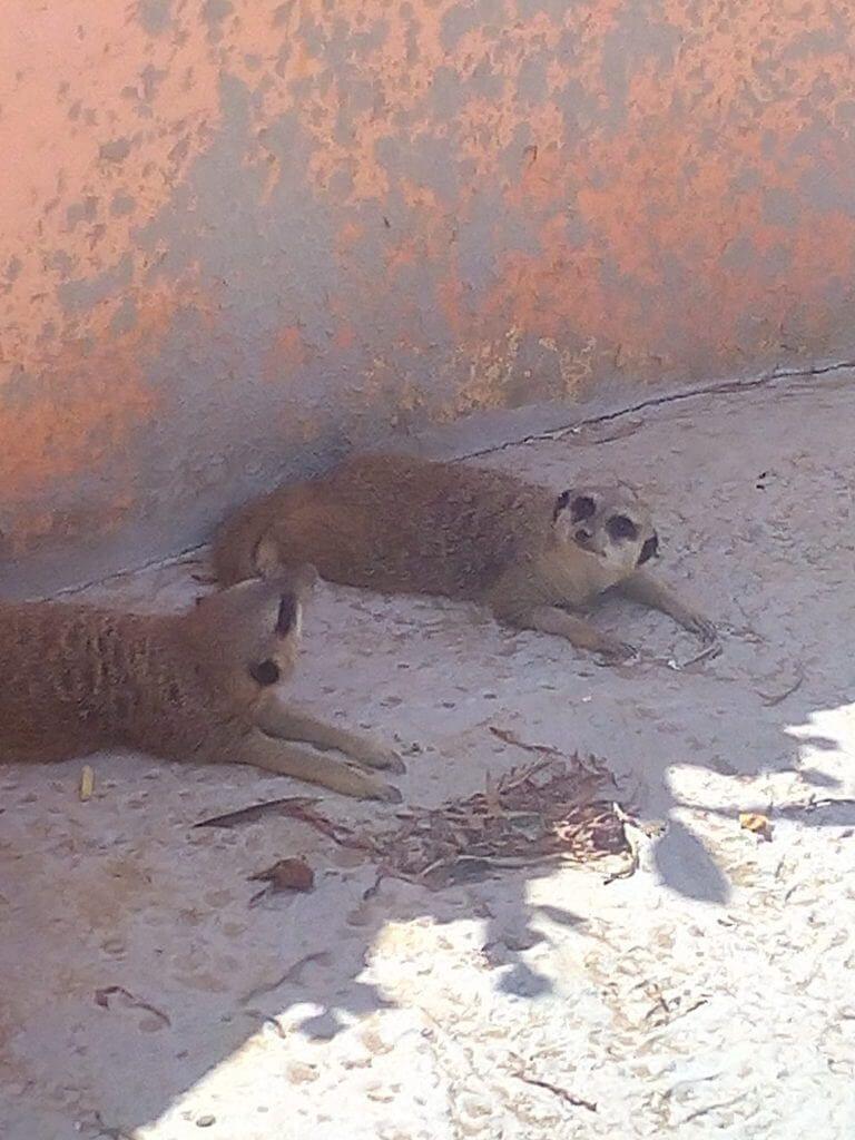 Сурикаты в зоопарке Туниса