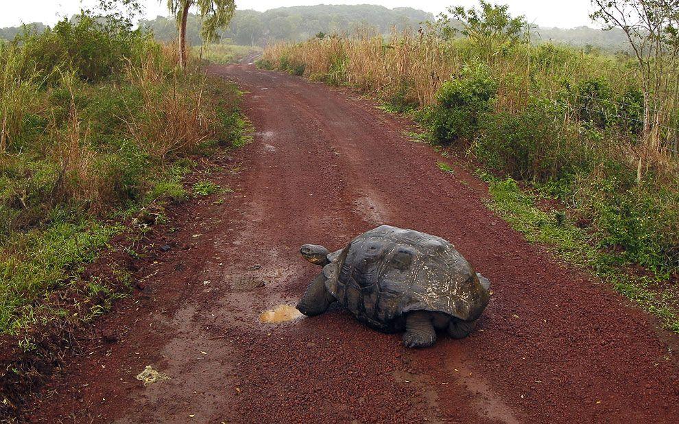 Черепаха - гигантов на Галапагосах