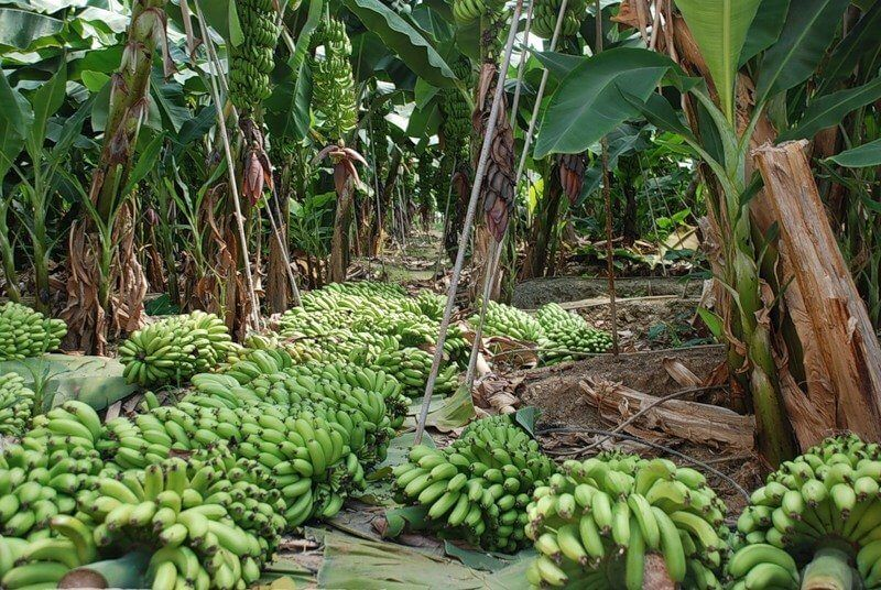 фото бананов в Аланье