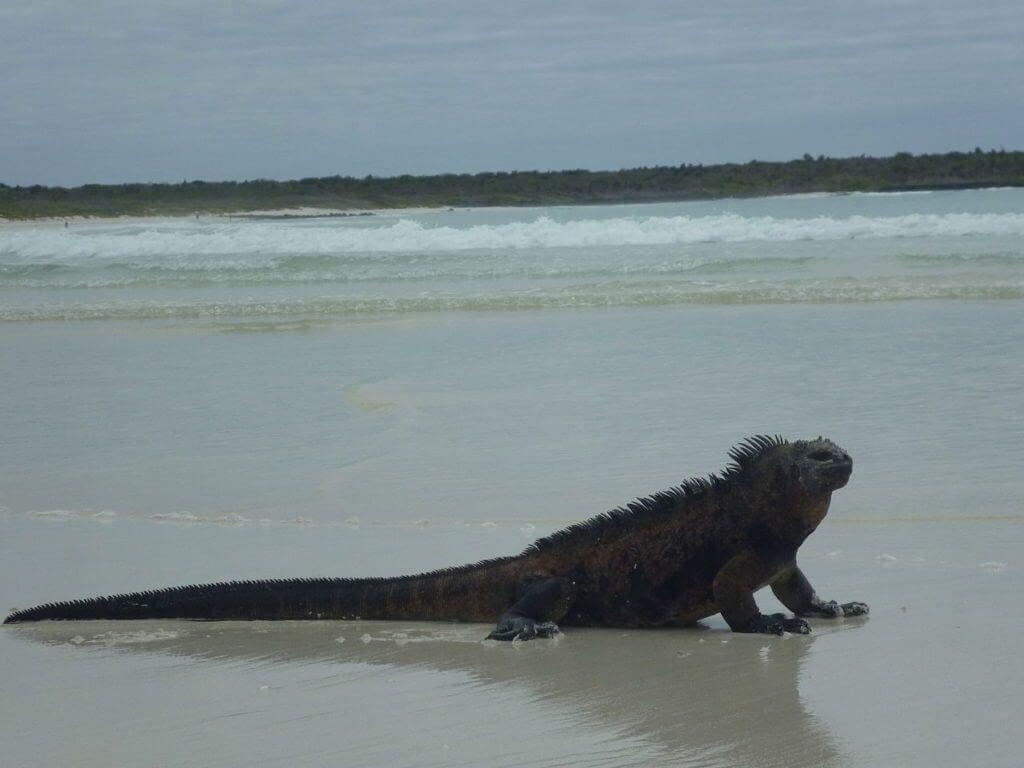 фото игуаны на Галапагосах