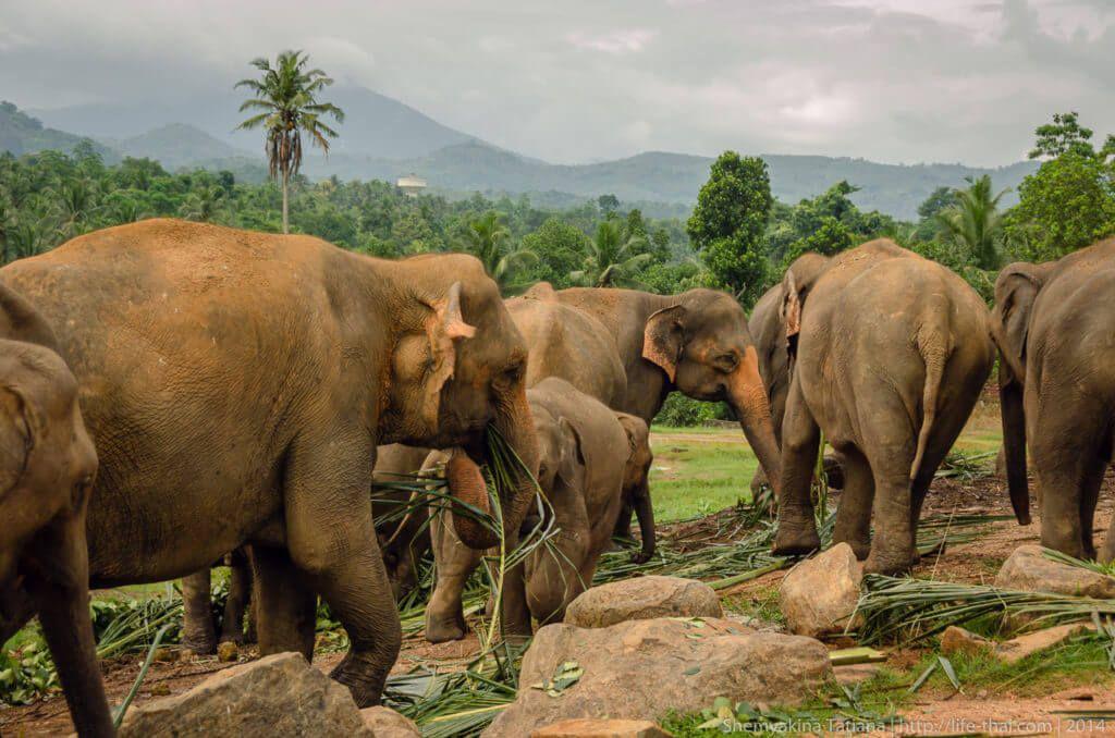 фото слоновьего питормника на Шри-Ланке