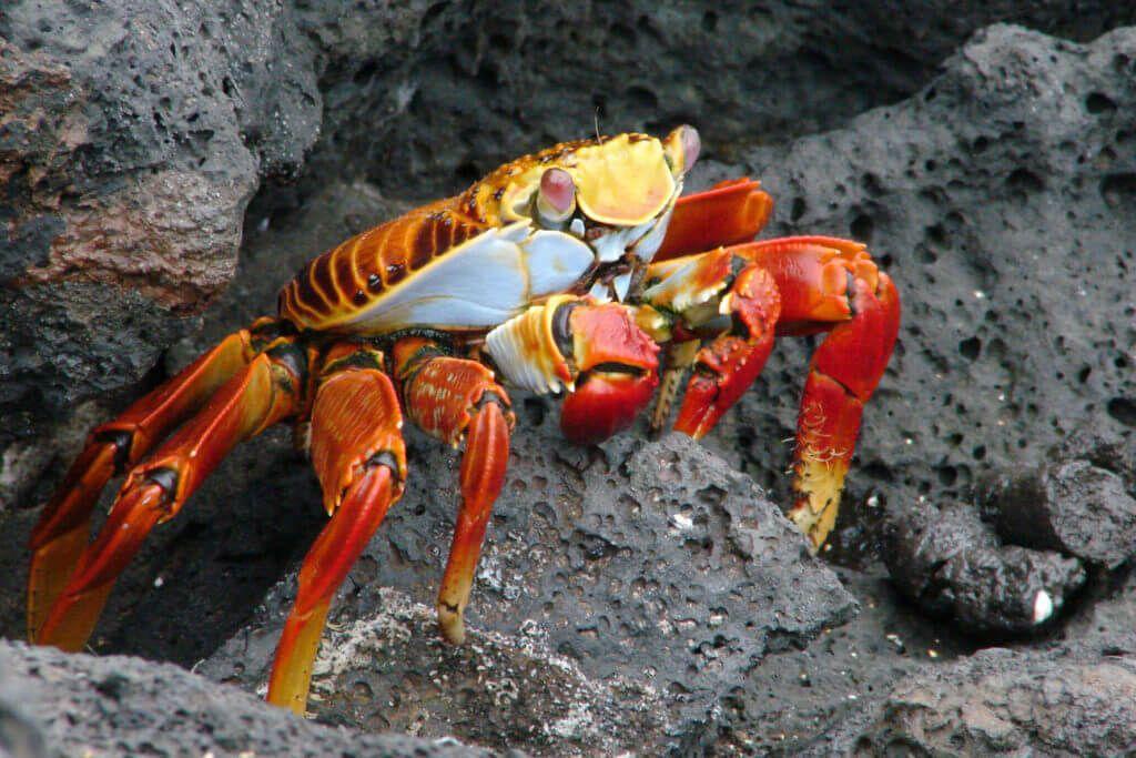фото краба Grapsus grapsus на Галапагосских острвоах