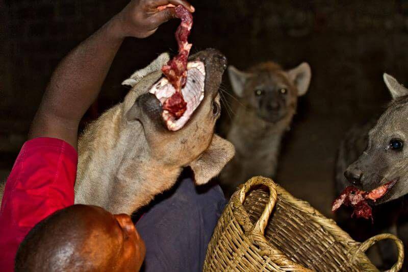 Кормление гиен в Эфиопии