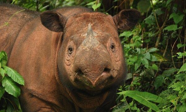 фото суматранского носорога