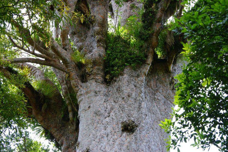 Деревья Каури в Новой Зеландии