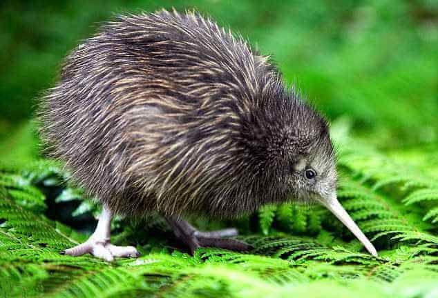 Киви в Новой Зеландии