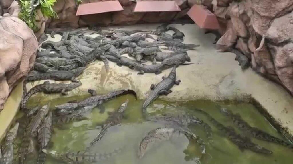 Крокодилы в Станице Голубицкой