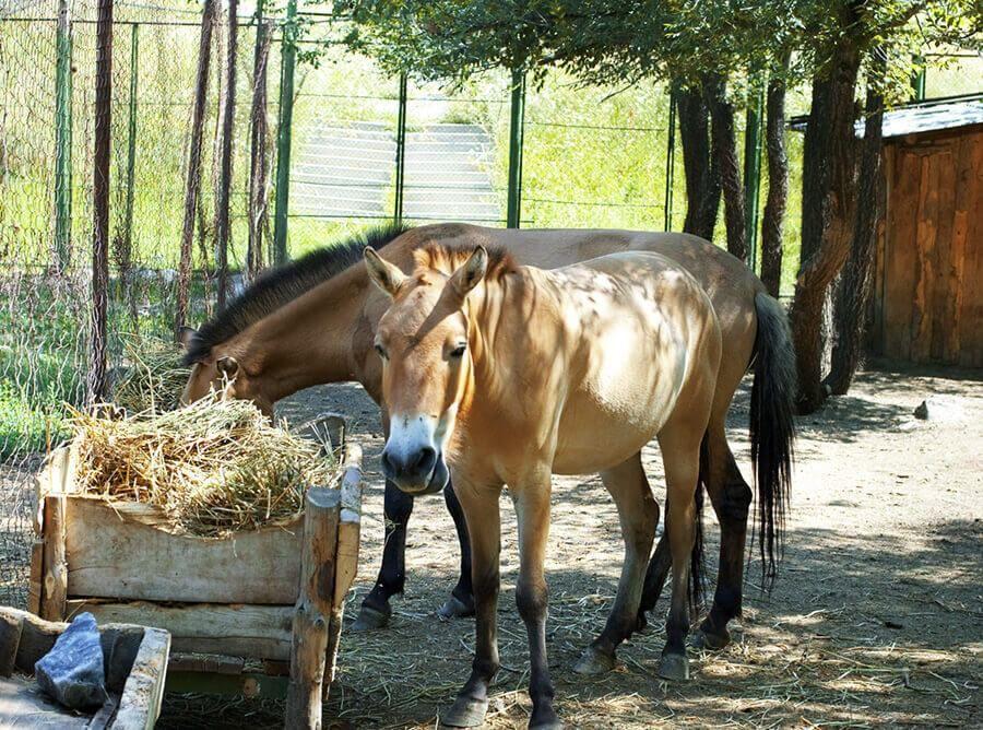 Зоопарк Каракол лошади Пржевальского