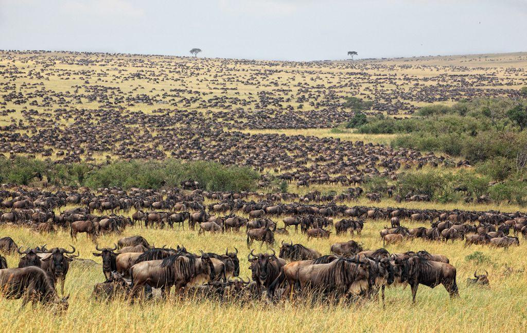 Миграция антилоп Гну в Серенгети