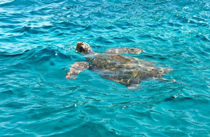 черепаха Каретта-каретта в заповеднике Лаганас, Закинф, Греция