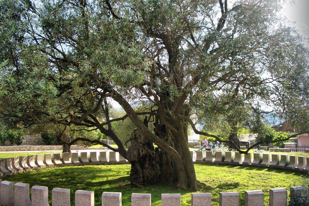 Старая маслина в городе Бар