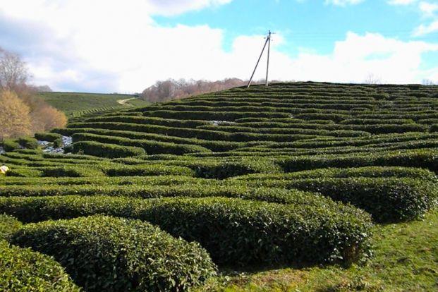 Чайные плантации Мацесты