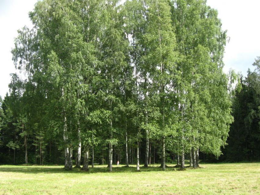 Белая береза Павловский Парк