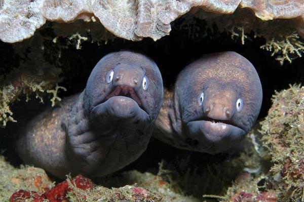 морские мурены