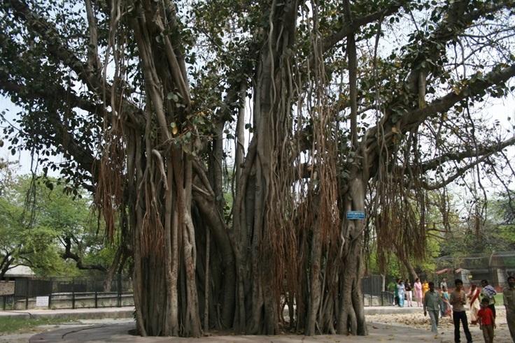 """Название Барбадос (""""бородатый"""") произошло от фиговых деревьев"""