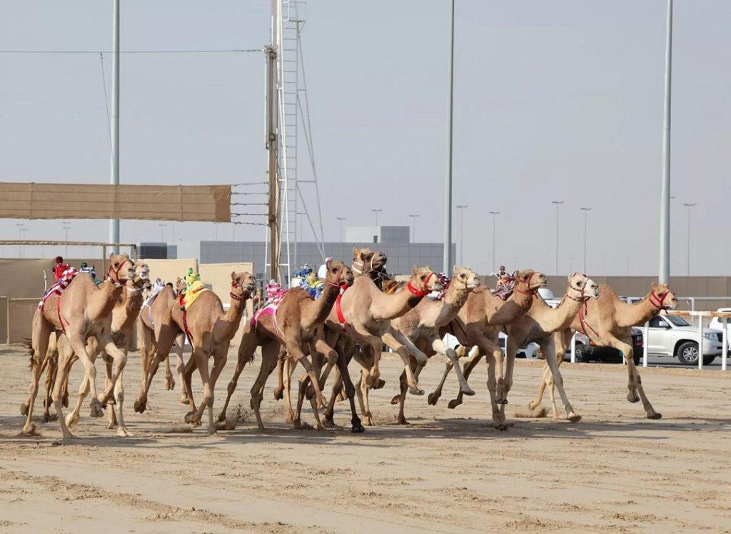Верблюжьи бега в Аджмане, ОАЭ