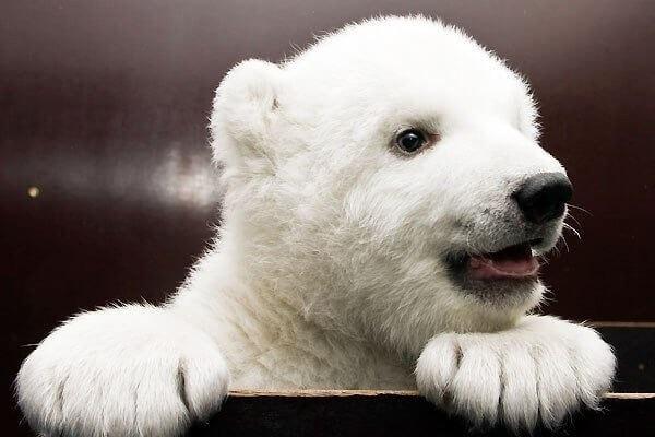 Белая медведица Флоке в зоопарке Нюрнберга
