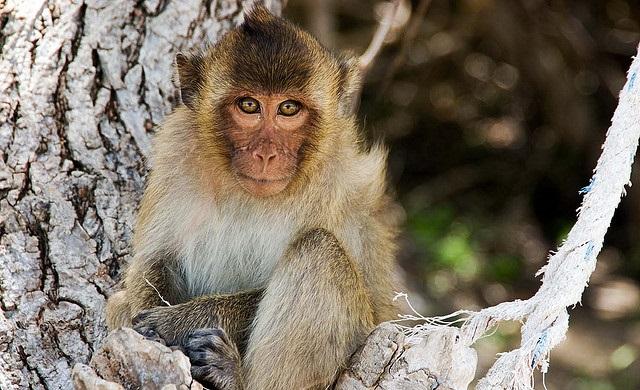 Хошимин, Остров обезьян