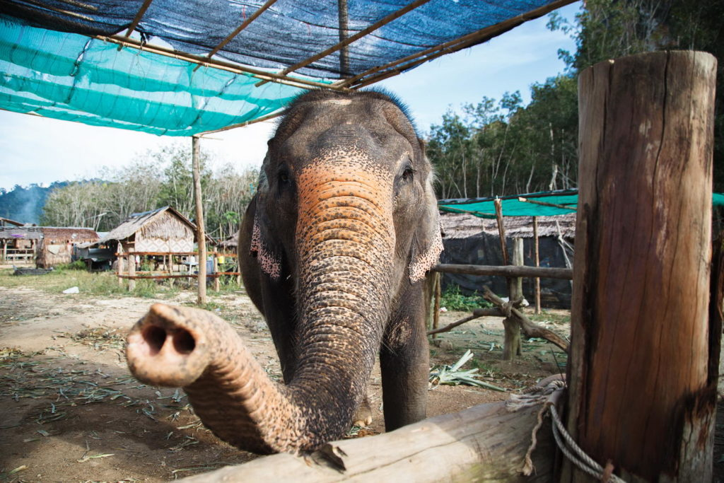 Слоновья ферма, Краби