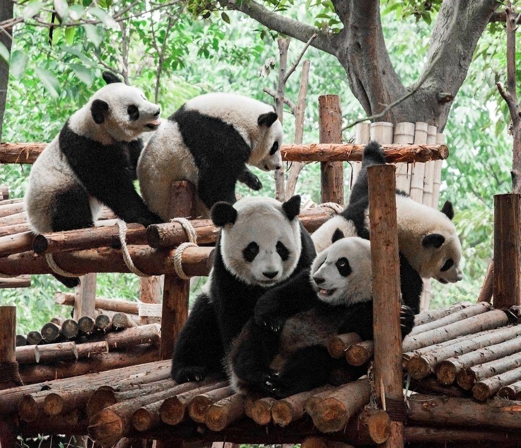 Центр изучения и разведения гигантской панды в Чэнду