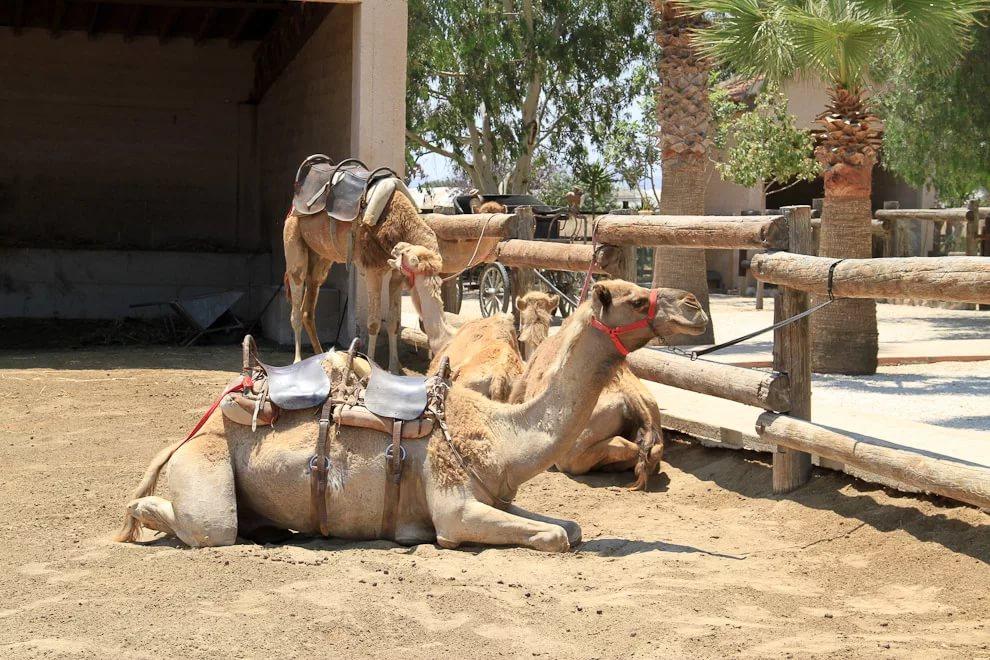 Верблюжий парк в Ларнаке
