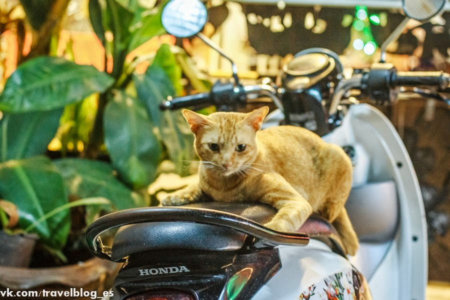 фото кошки на байке