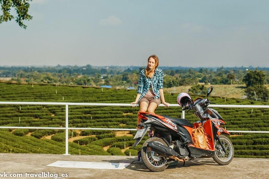 Чайные плантации на севере Тайланда
